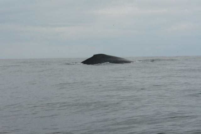 Humpback whale close to Samara, month of August