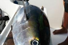 Yellowfin tuna fishing Costa Rica