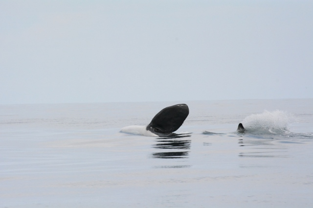 Orca saying hi - close to Samara, month of August